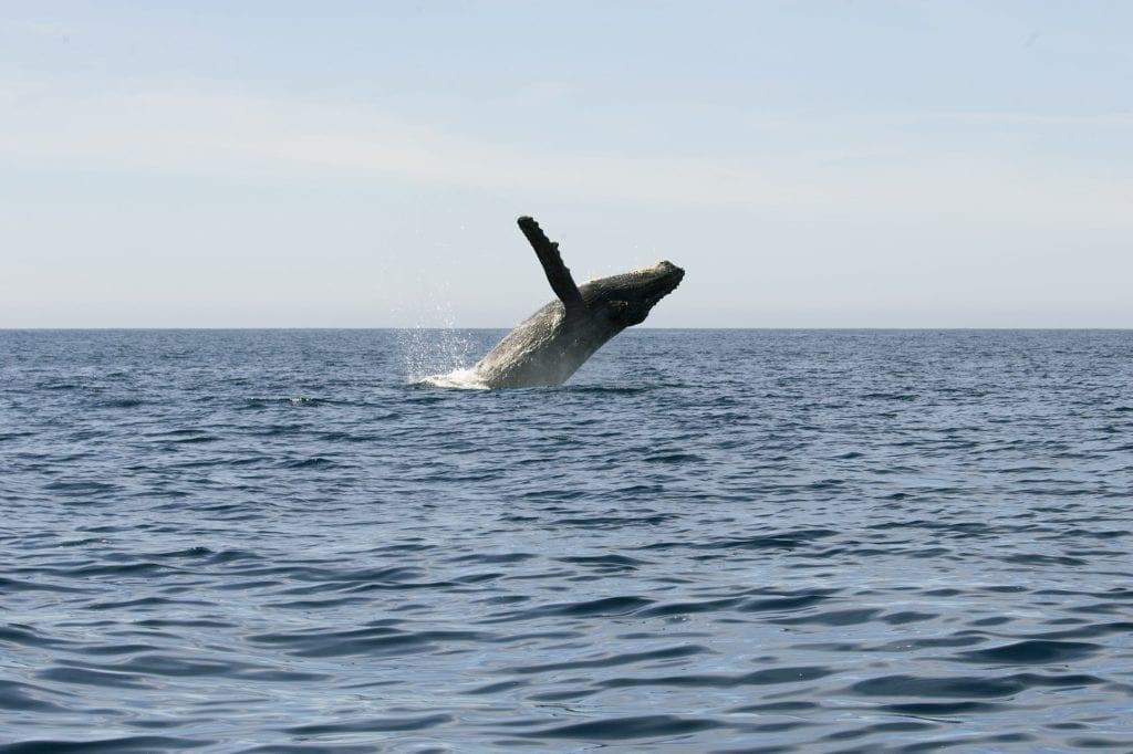 Baja California whale leaping