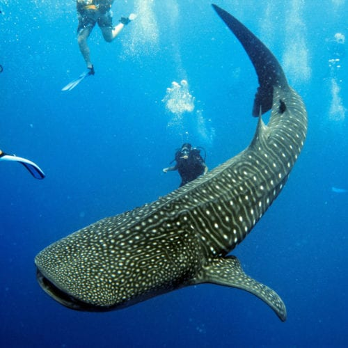 Whale Shark in Belize