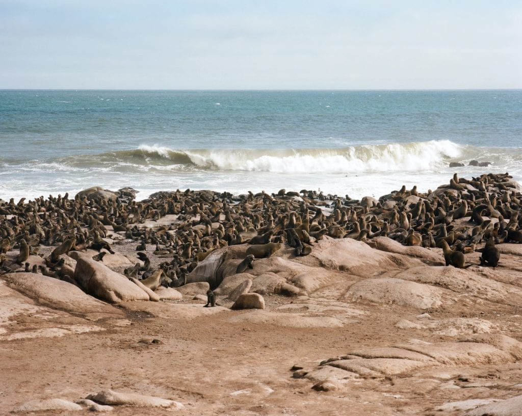Cape Seal Colonies Namibia