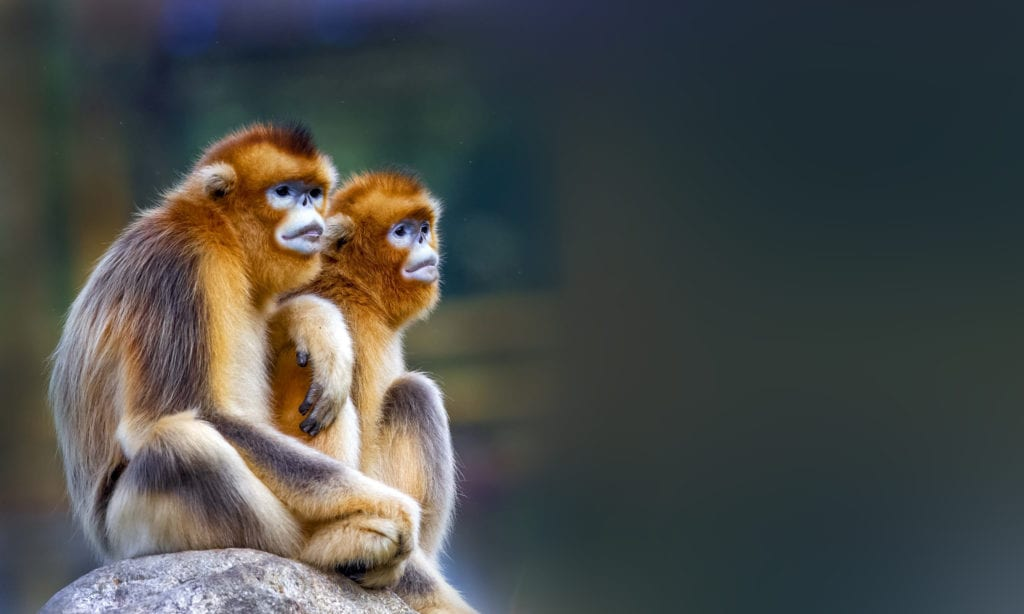 Two snub-nosed monkeys in China