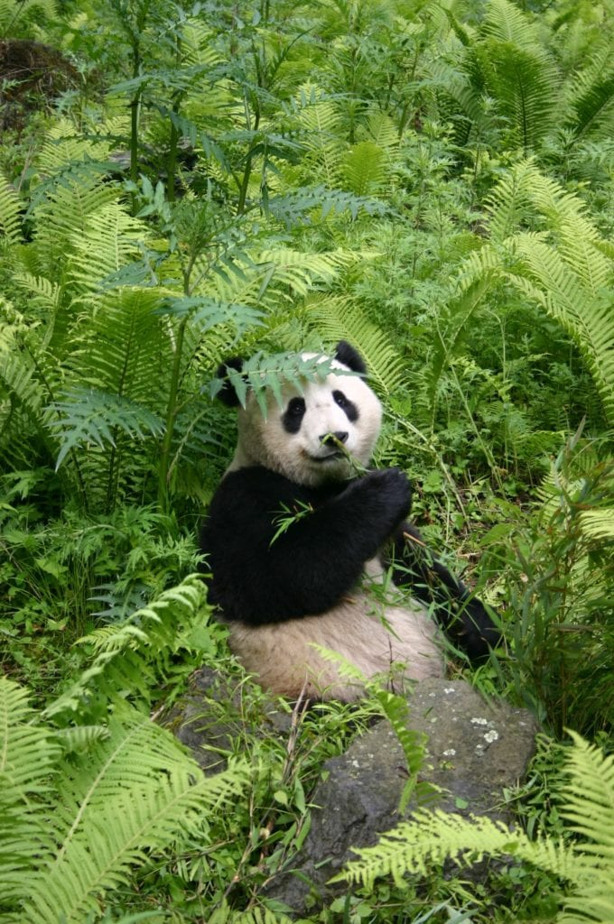 Panda sitting in the wilds of China