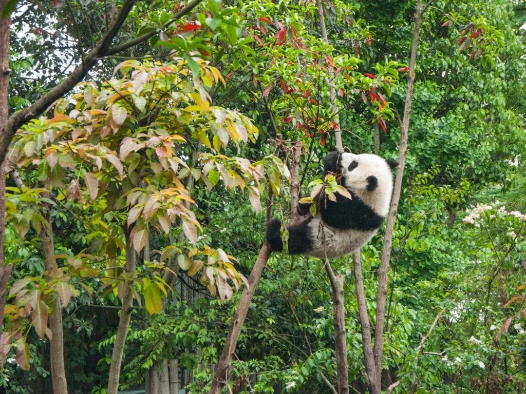 Panda climbing tree in China