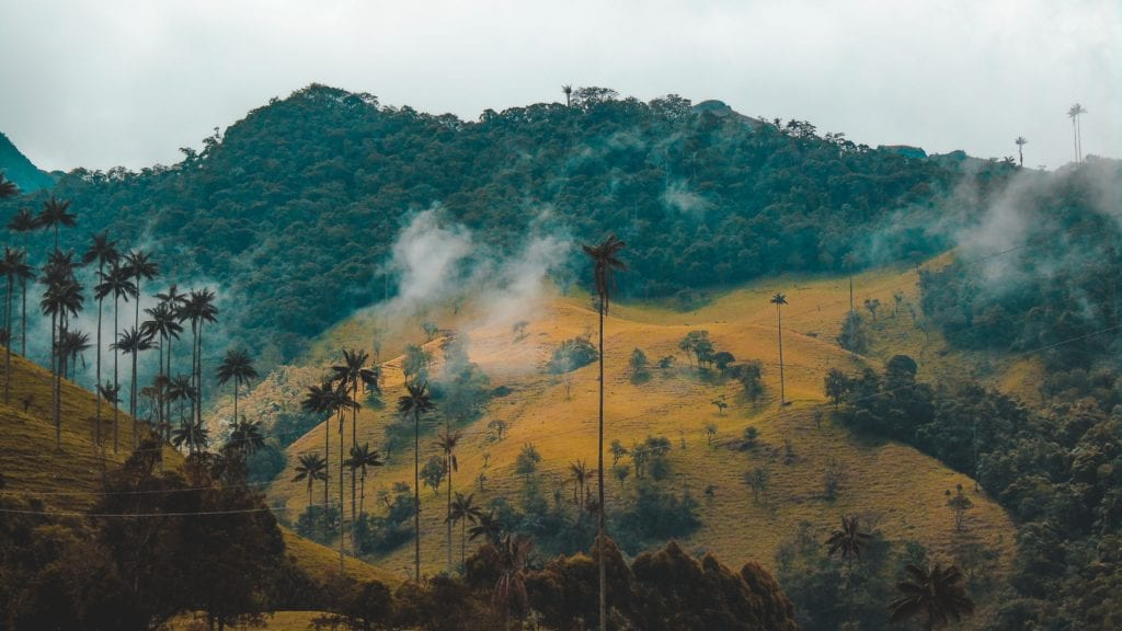 Tall palm trees of Colombia's cloud forests