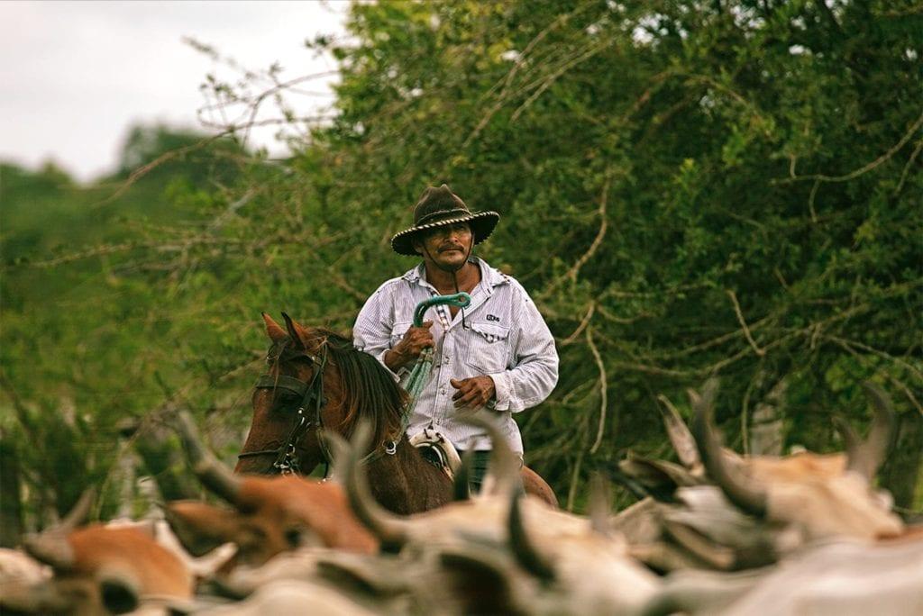 Colombia cattle herding on horseback