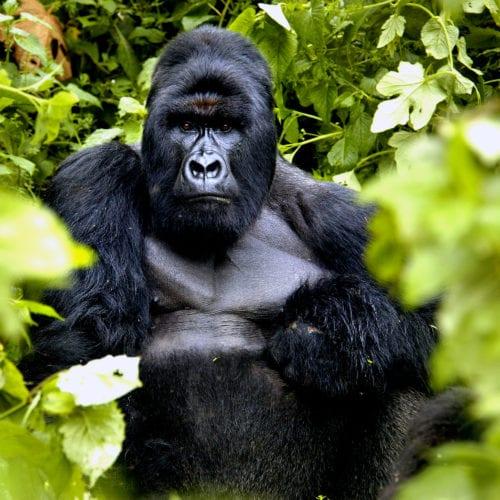 Close up of a gorilla in Congo
