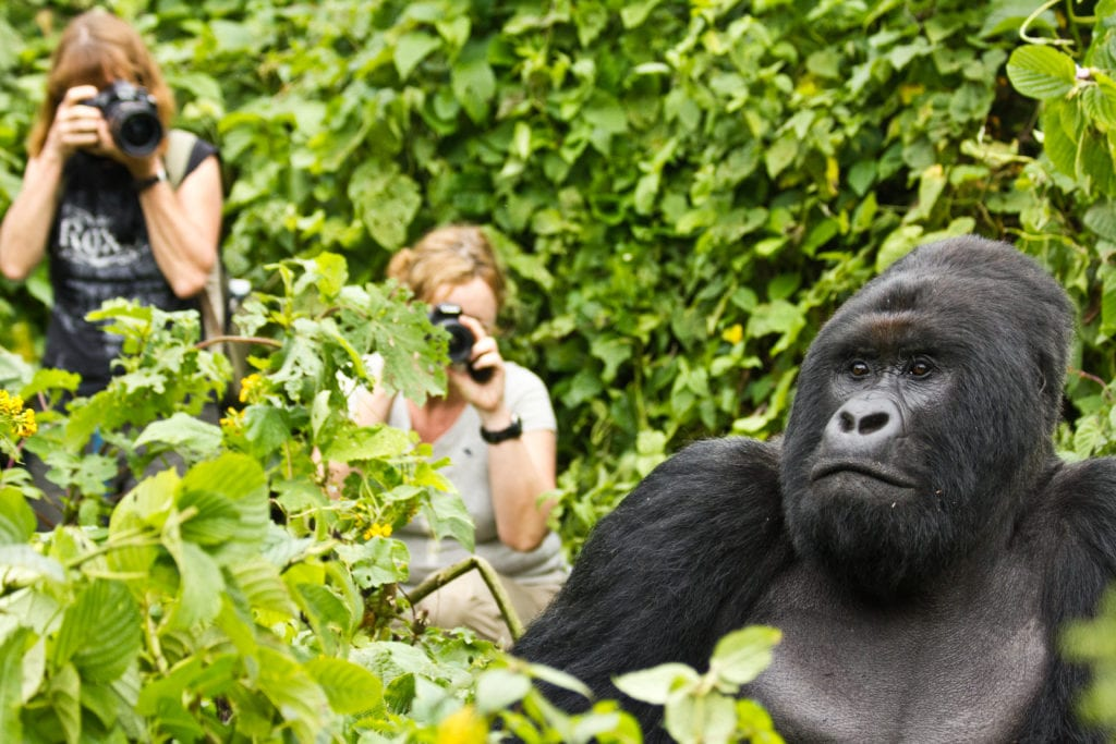 Gorilla safari in Congo