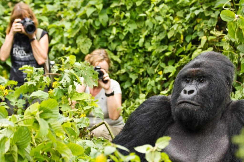 Gorilla safari in Congo
