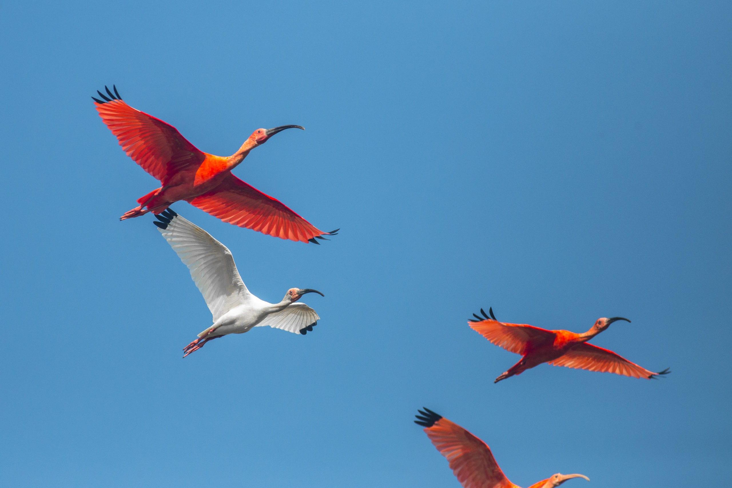 Corocora Wildlife Camp birds flying