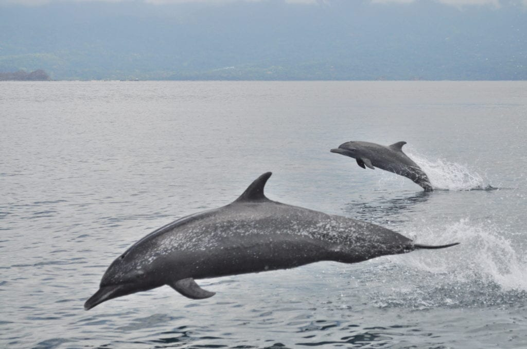 Dolphins swimming off the coast of Costa Rica
