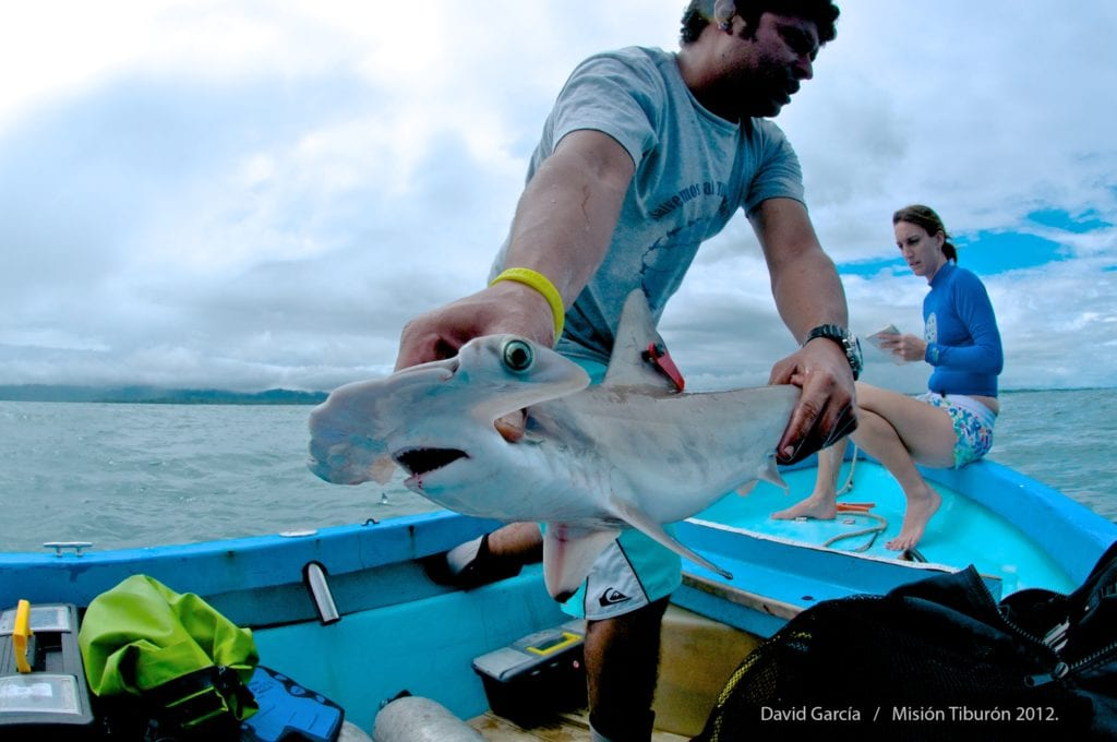 Costa Rica shark tagging