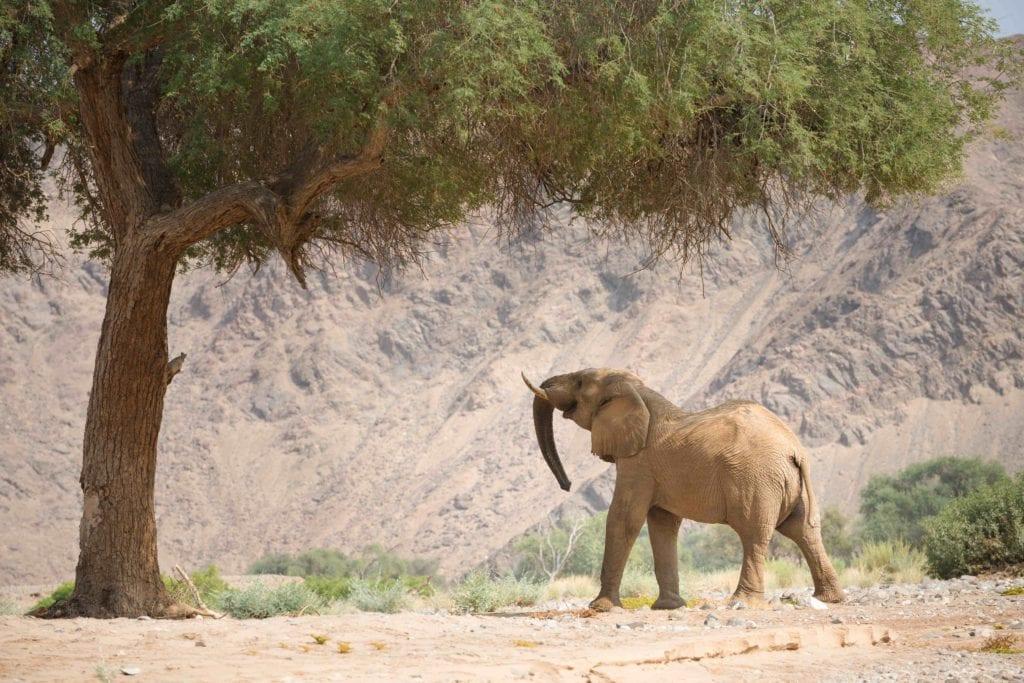Desert Elephant Namibia