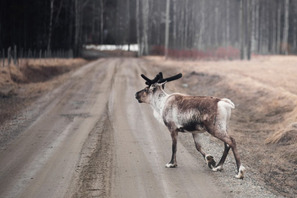 Reindeer Sweden
