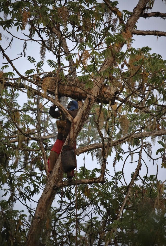 Local Ethiopian collecting honey from a tree