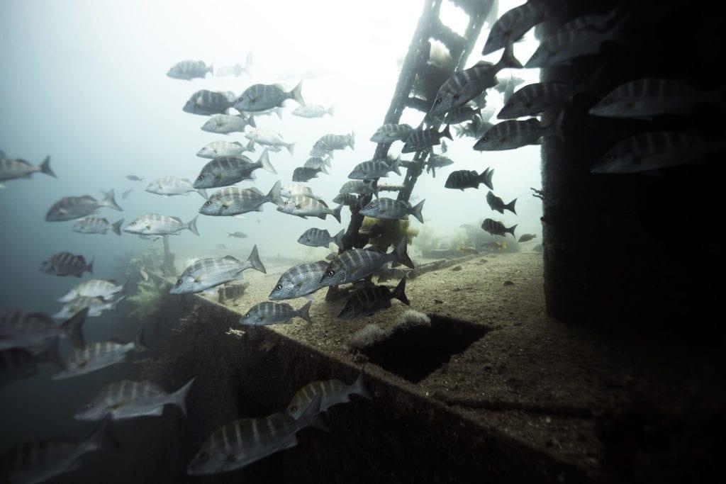 Baja California large fish shoal