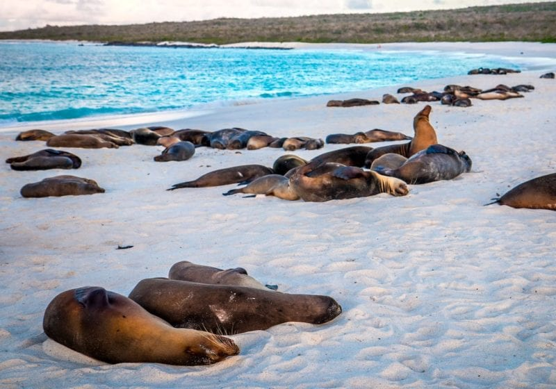 galapagos islands gardner bay beach sea lions