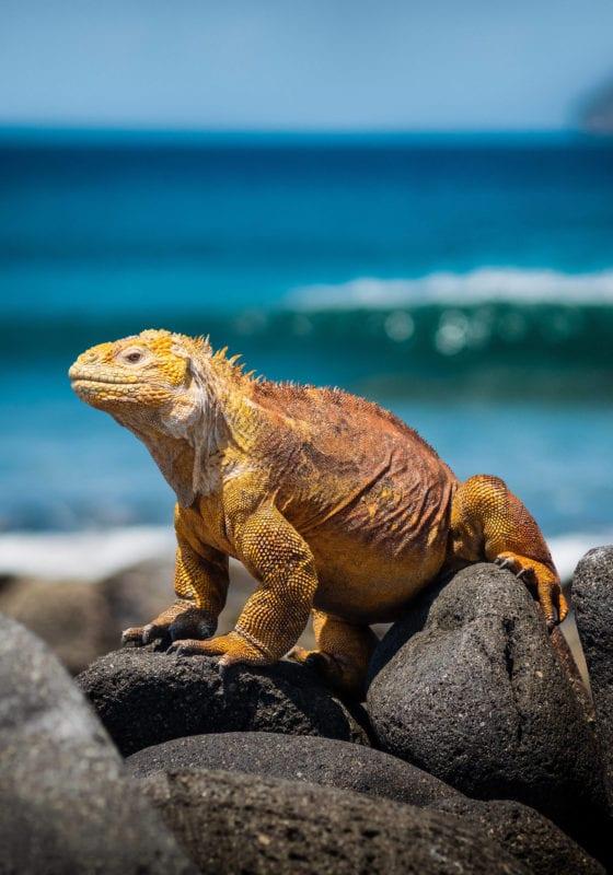 galapagos wildlife iguana ecuador
