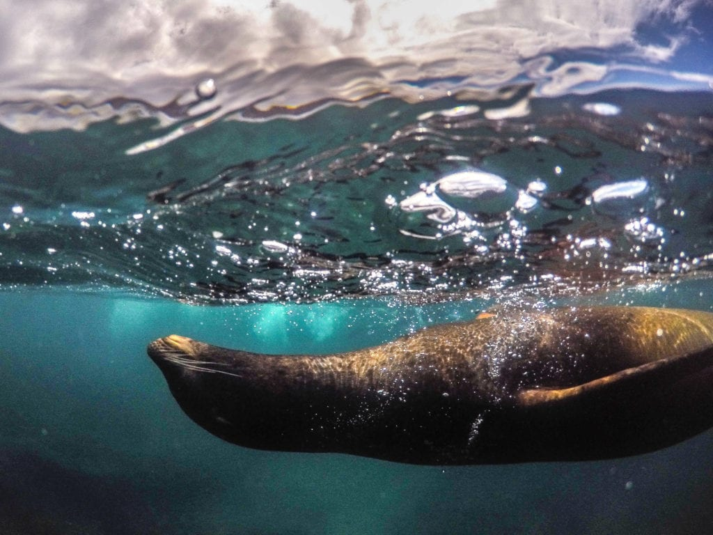 galapagos wildlife sea lion under water