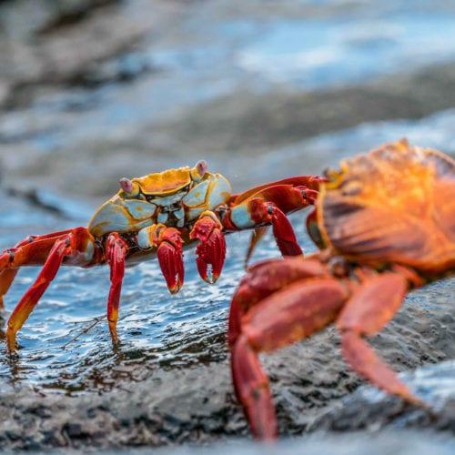 galapgos wildlife crab ecuador