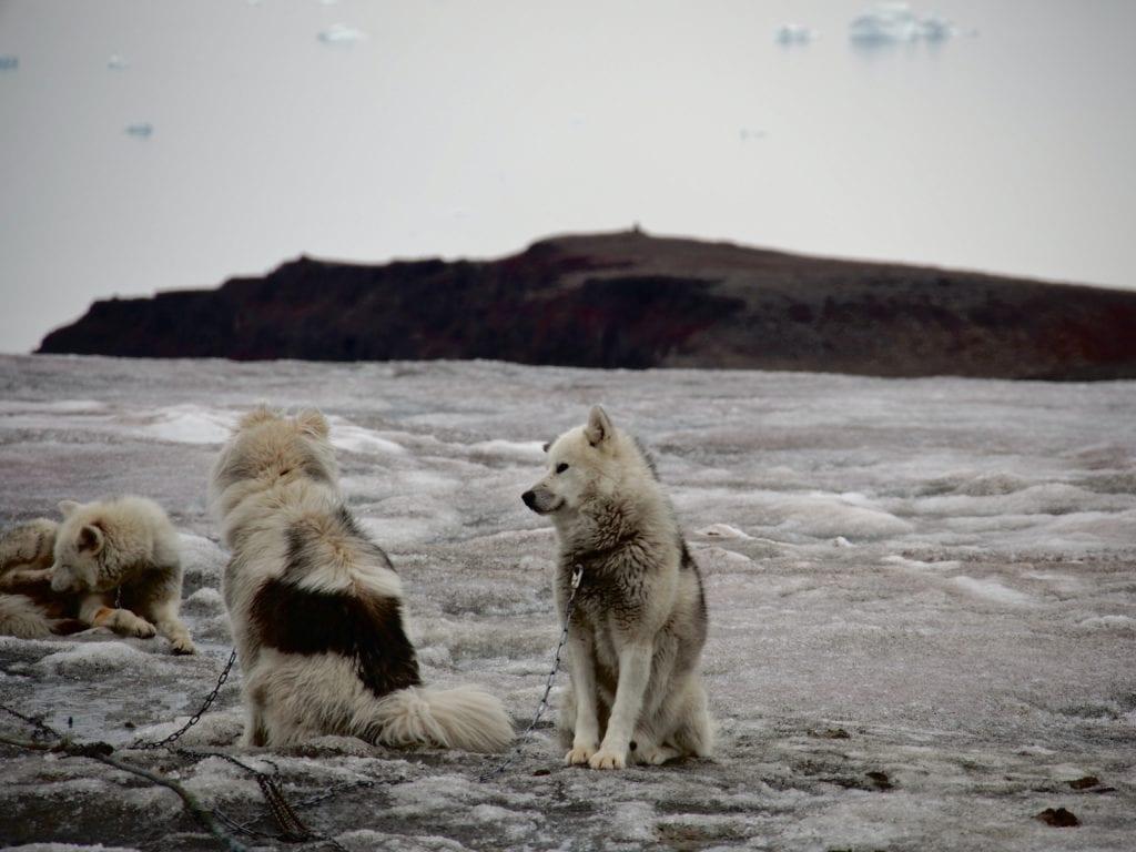 Greenland Huskies