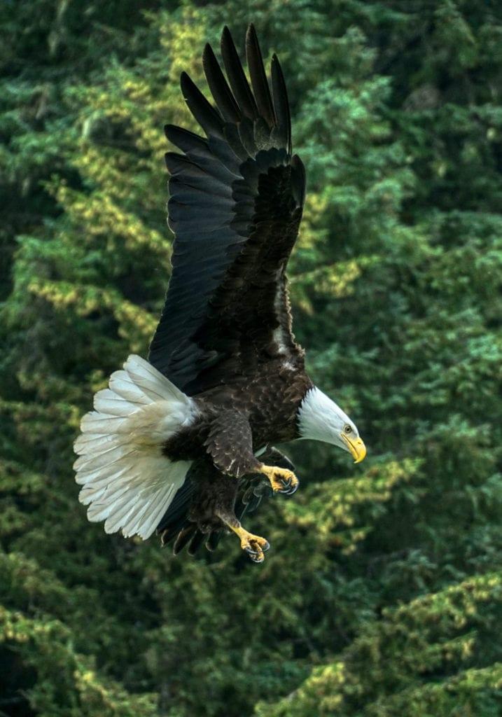 Haines Alaska Eagle Flight