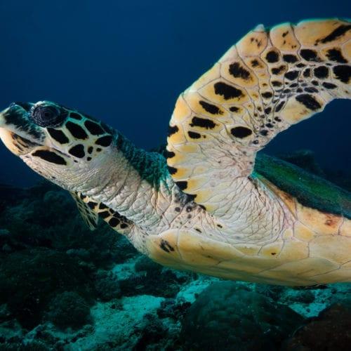 Hawksbill Turtle Dampier Strait Raja Ampat Indonesia