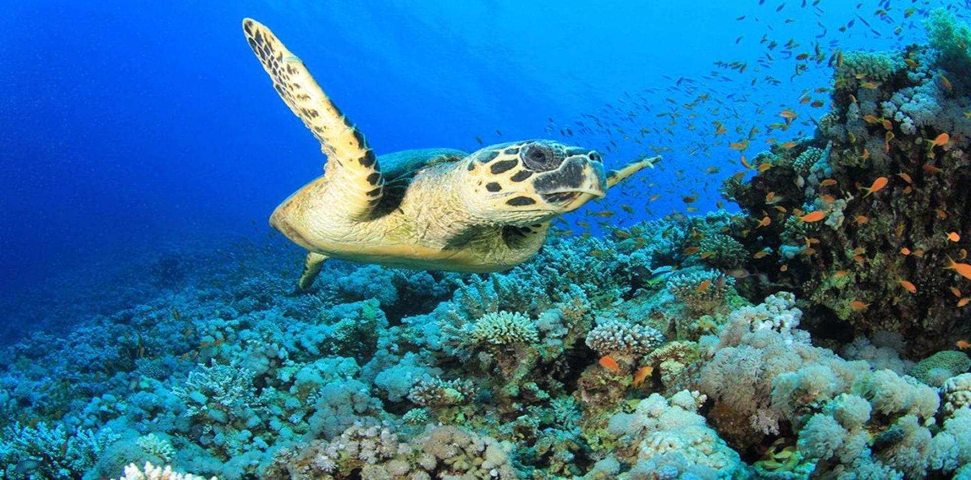 turtle enjoying the plastic free corals