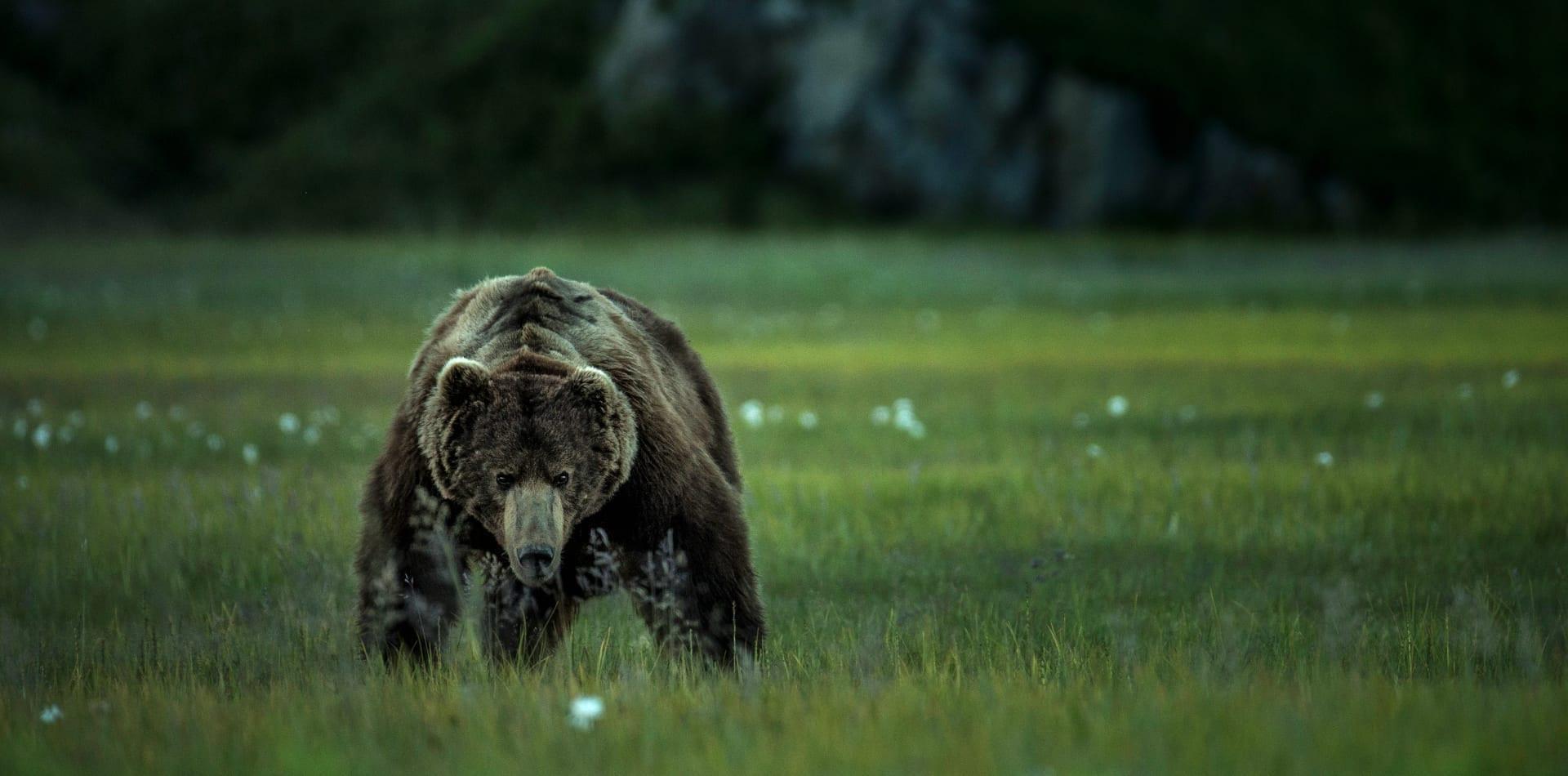 bear alaska wildlife