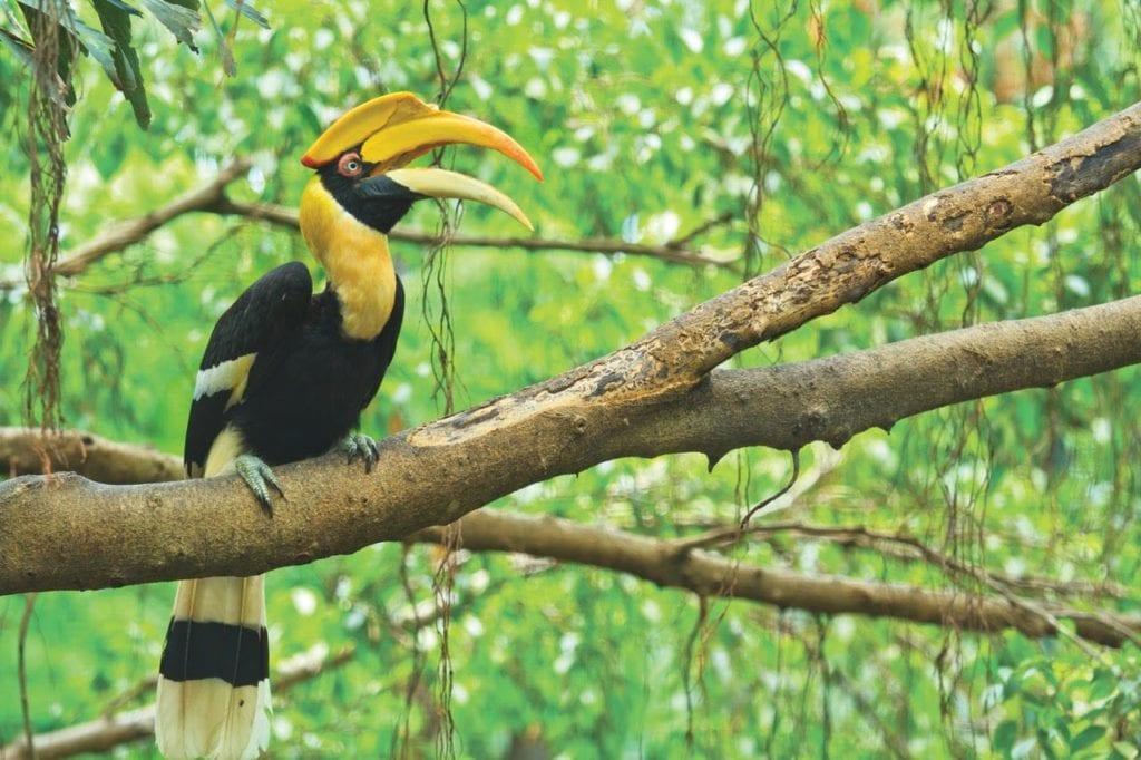 Hornbill Wildlife Thailand Pelorus