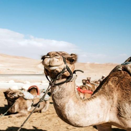 Camel in Desert Israel
