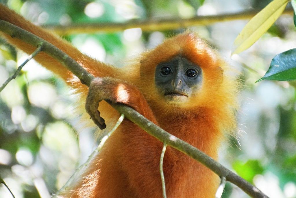 Young Orangutan on tree