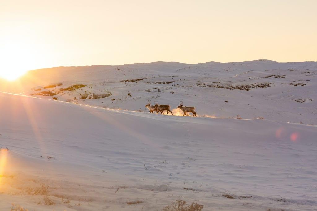 Wild Caribou Kargerlussuaq Greenland