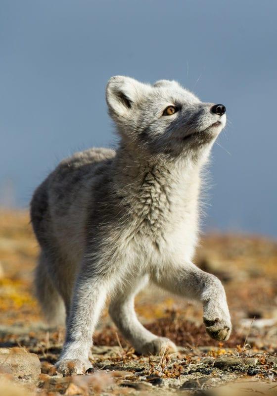 Longyearbyen Svalbard Artic Fox Wildphoto