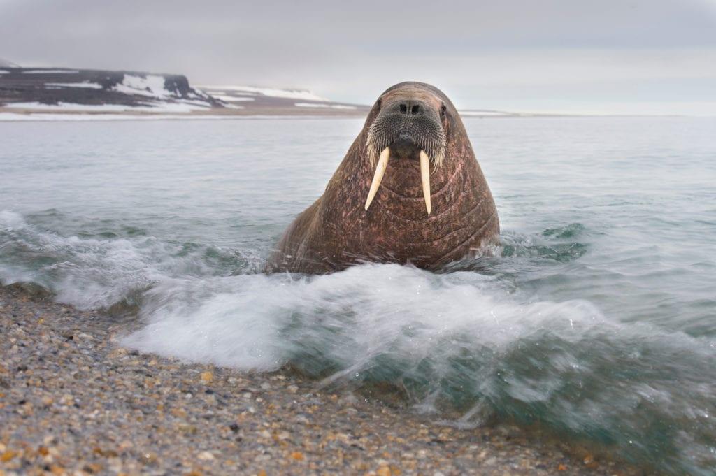 Longyearbyen Svalbard Walrus Wildphoto