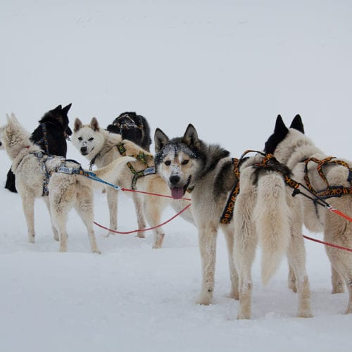 Lonyearbyen Svalbard Huskies Sled