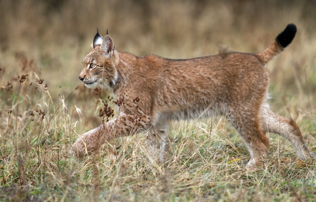 Lynx Spain Safari Andalusia