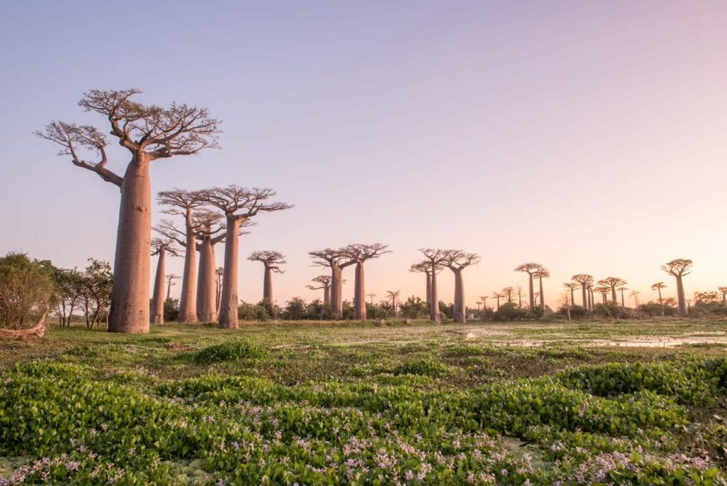 madagascar forest of baobab trees