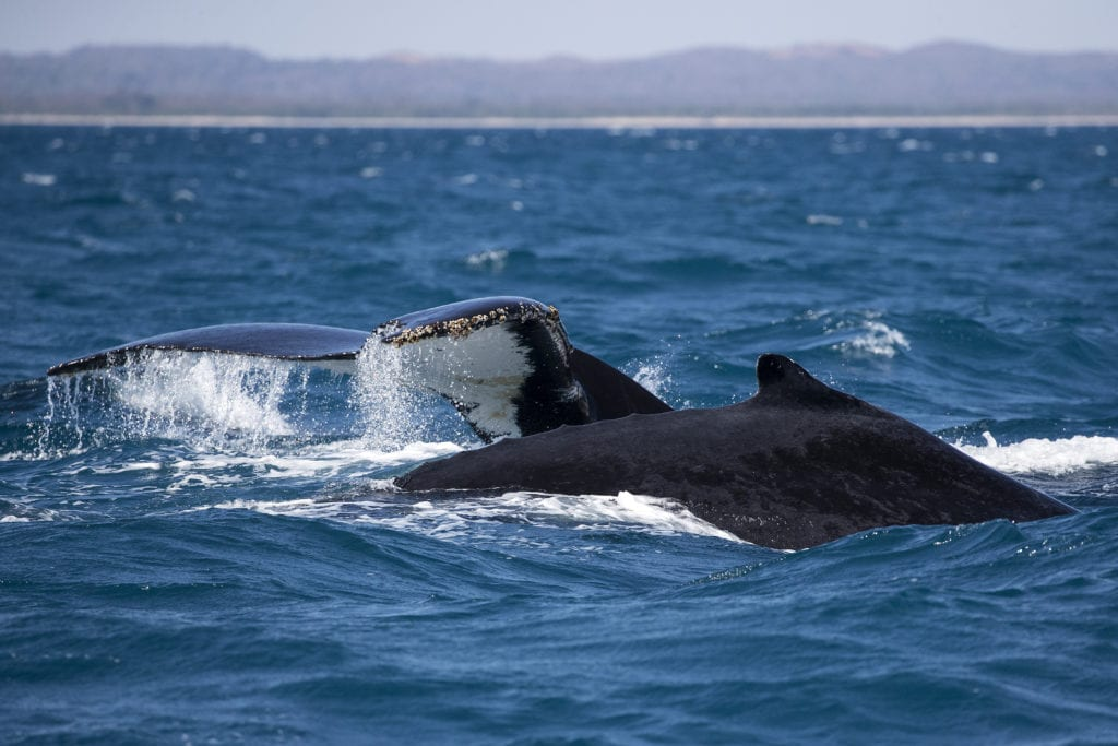 humpback whales in madagascar