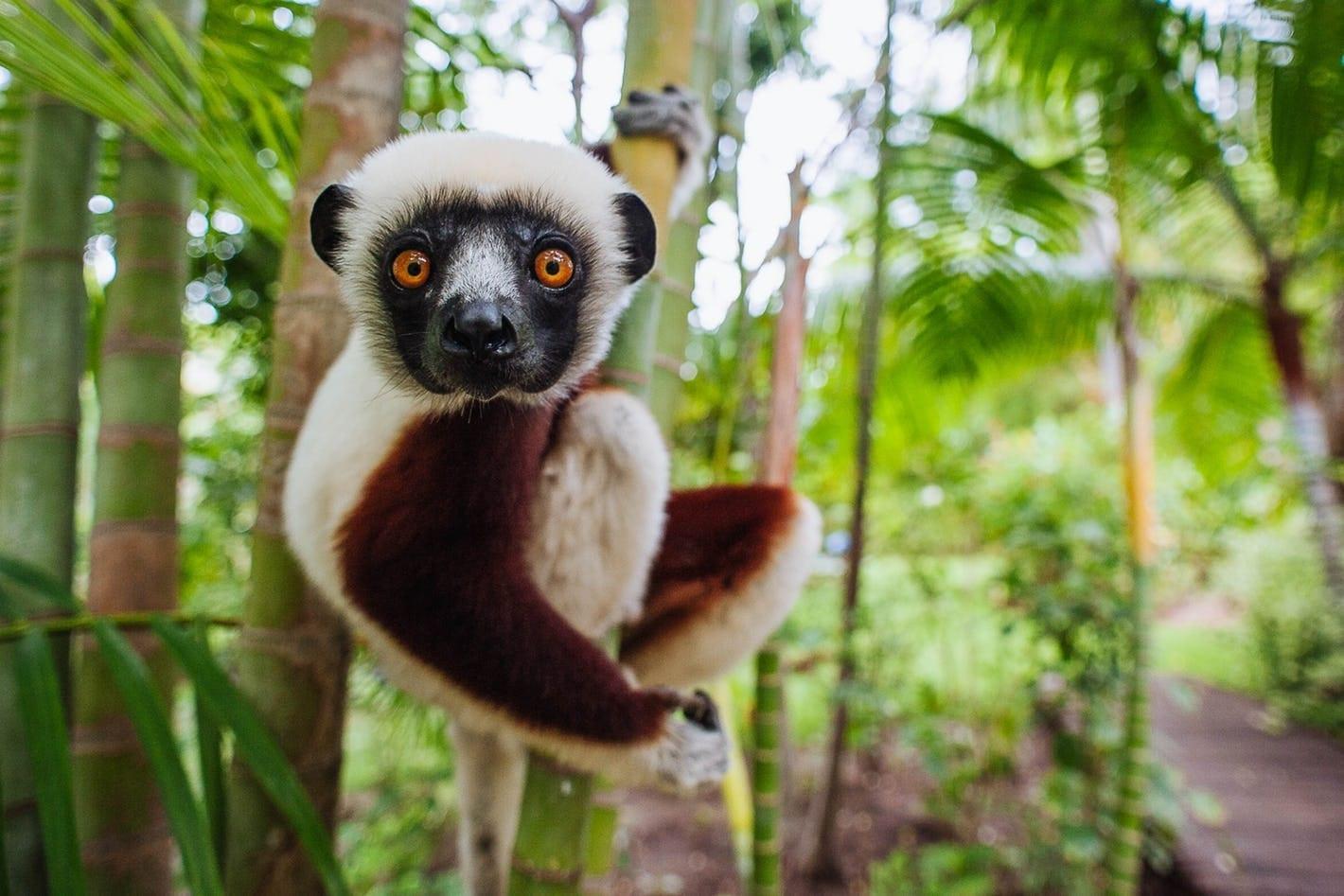 lemur in tree in madagascar