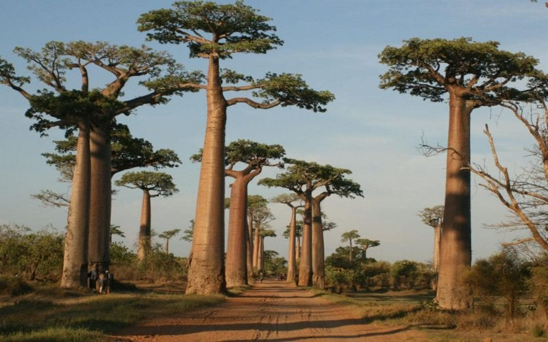 madagascar road with baobab trees