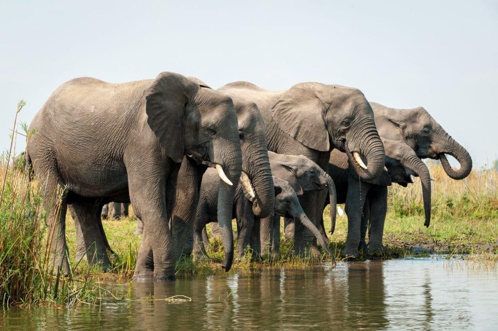 Malawi Kuthengo Elephants