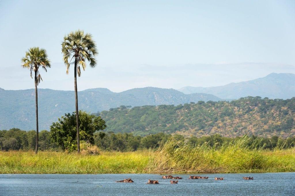 Malawi Kuthengo Hippos