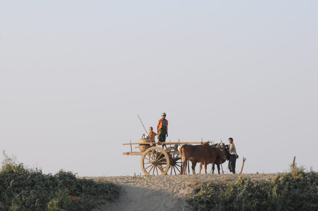 cows pulling cart in myanmar