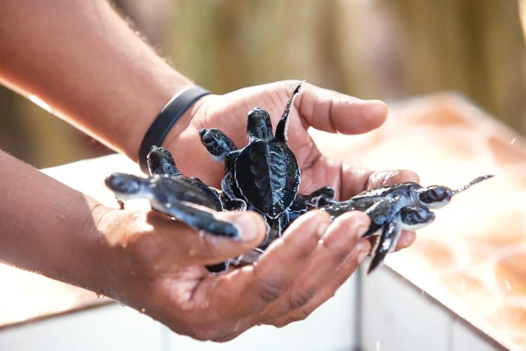 hands holding turtle hatchlings myanmar