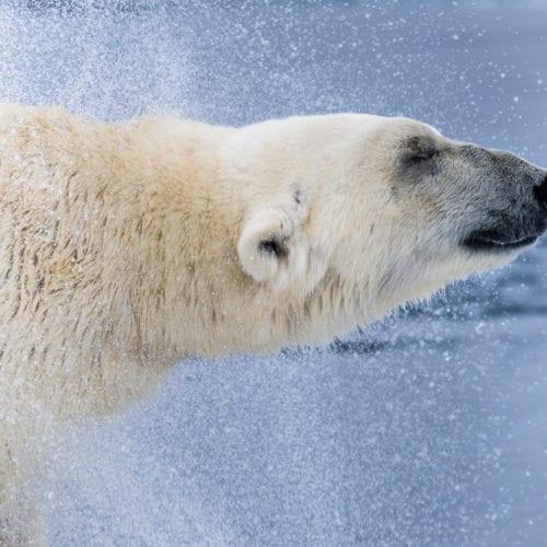 Svalbard Polar Bear Profile