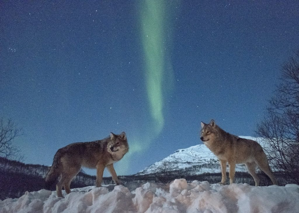 Wolves Northern Lights Norway