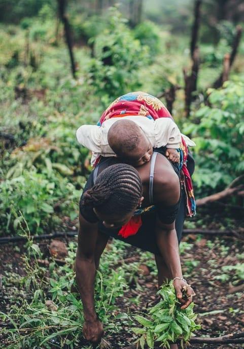pelorus caribbean coffee picking