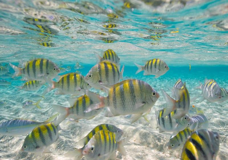 pelorus caribbean fish