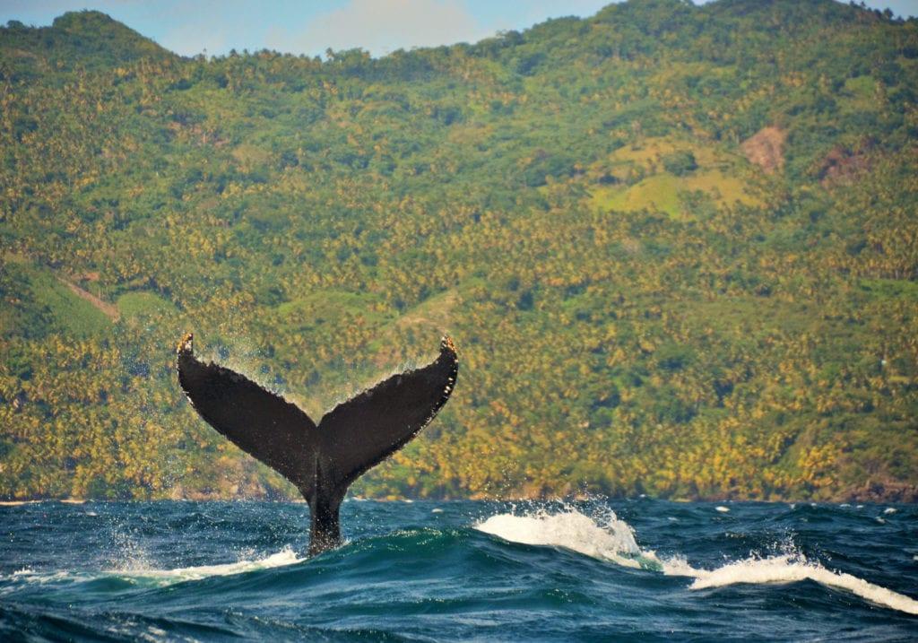 pelorus caribbean whale tail
