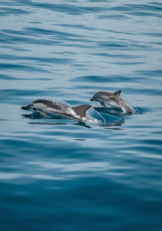 Pelorus Cuba Bottlenose Dolphins