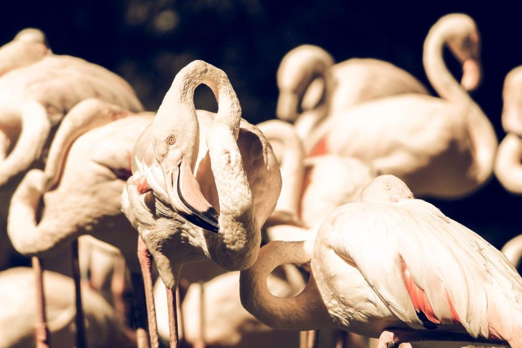 Pelorus Cuba Flamingoes